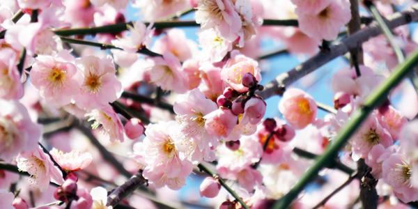 箕郷の梅の花