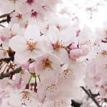 高崎公園桜